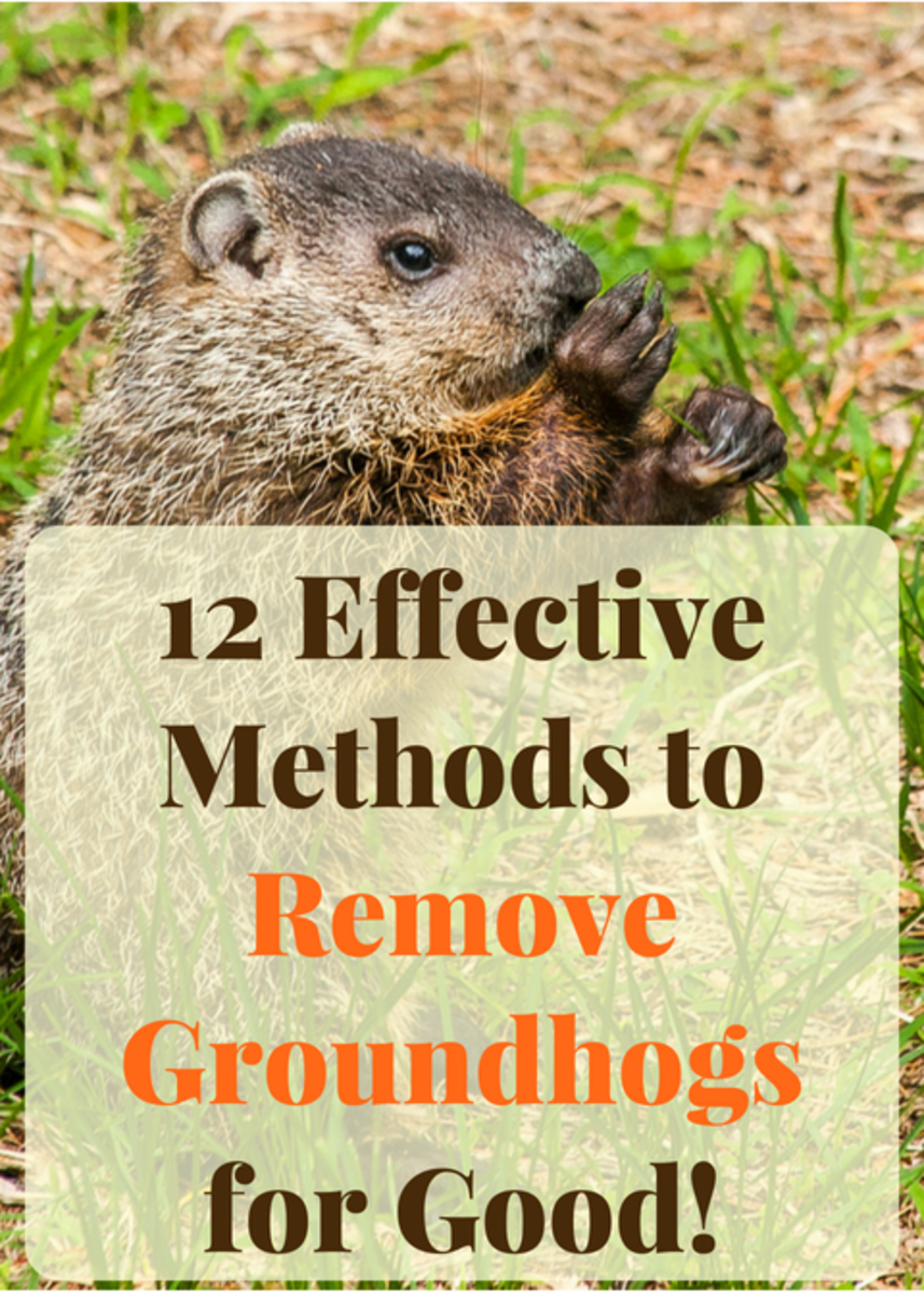 12 Effective Ways to Get Rid of Groundhogs for Good
