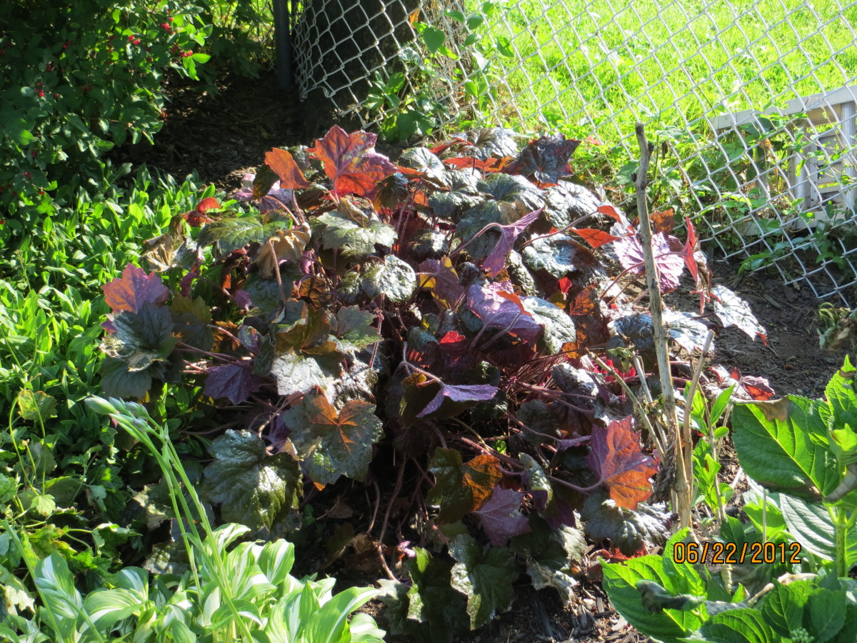 Palace Purple coral bells in full sun.