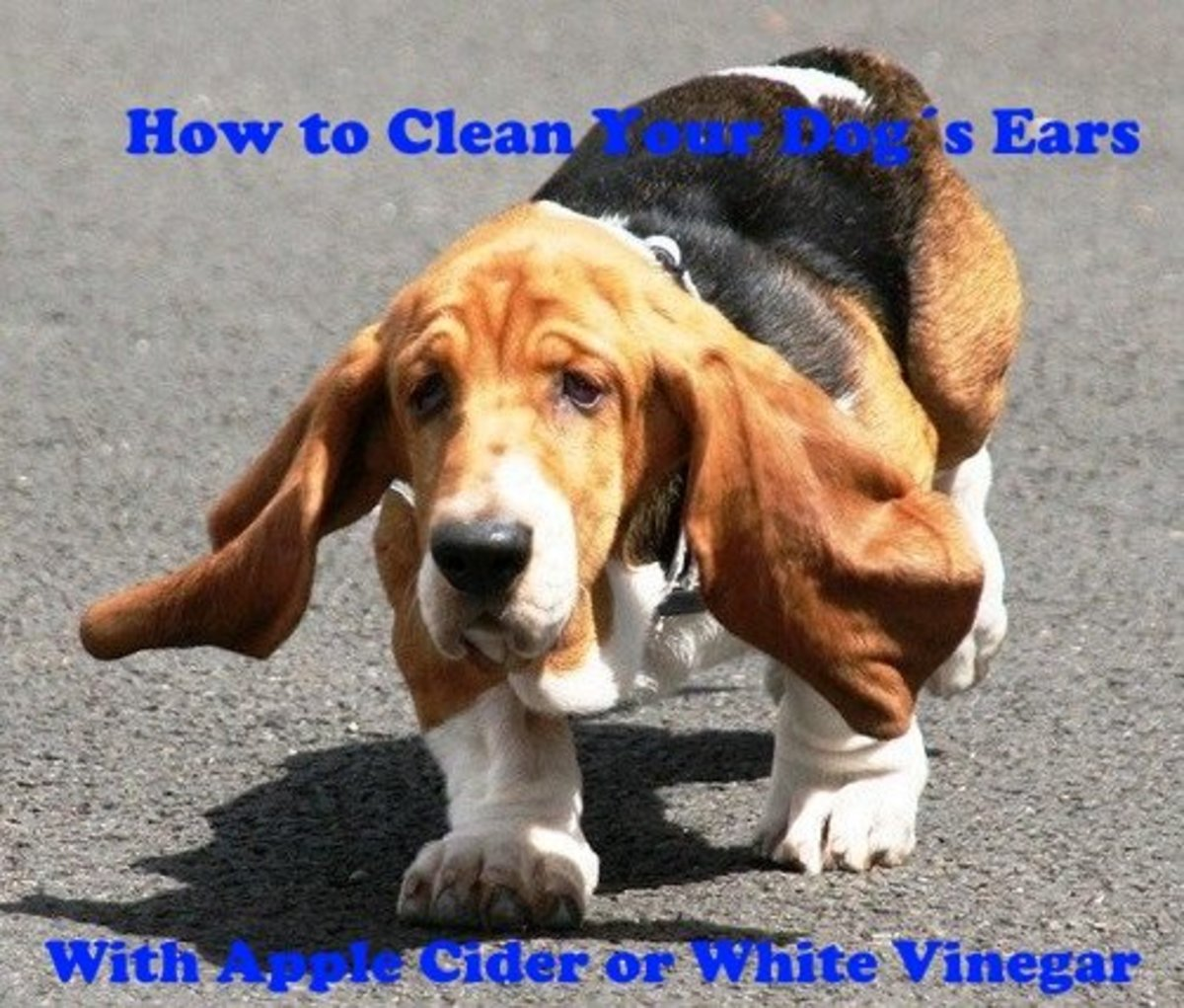 How to clean your dogs ears with apple cider vinegar or white vinegar.