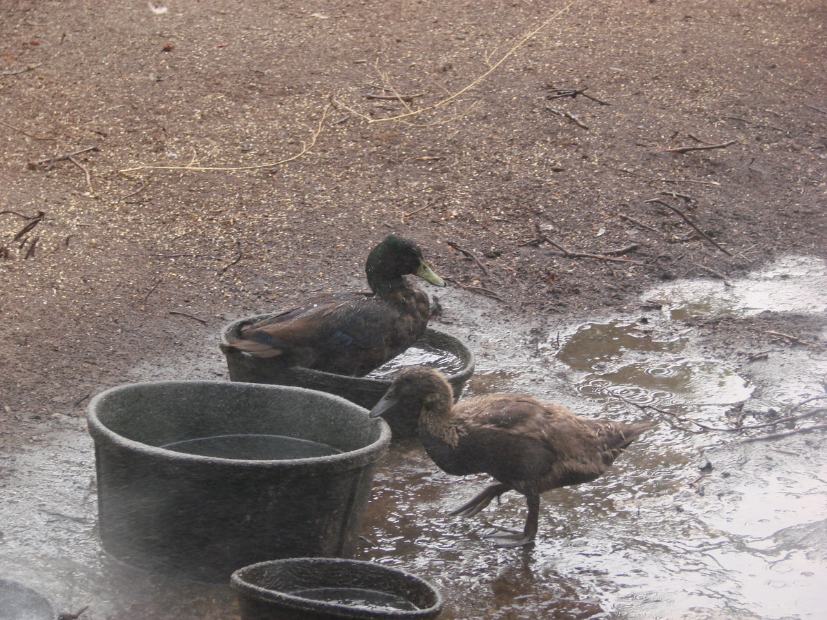 Ducks are clearly aquatic birds! They love the water and look for places to swim...like their water dish.