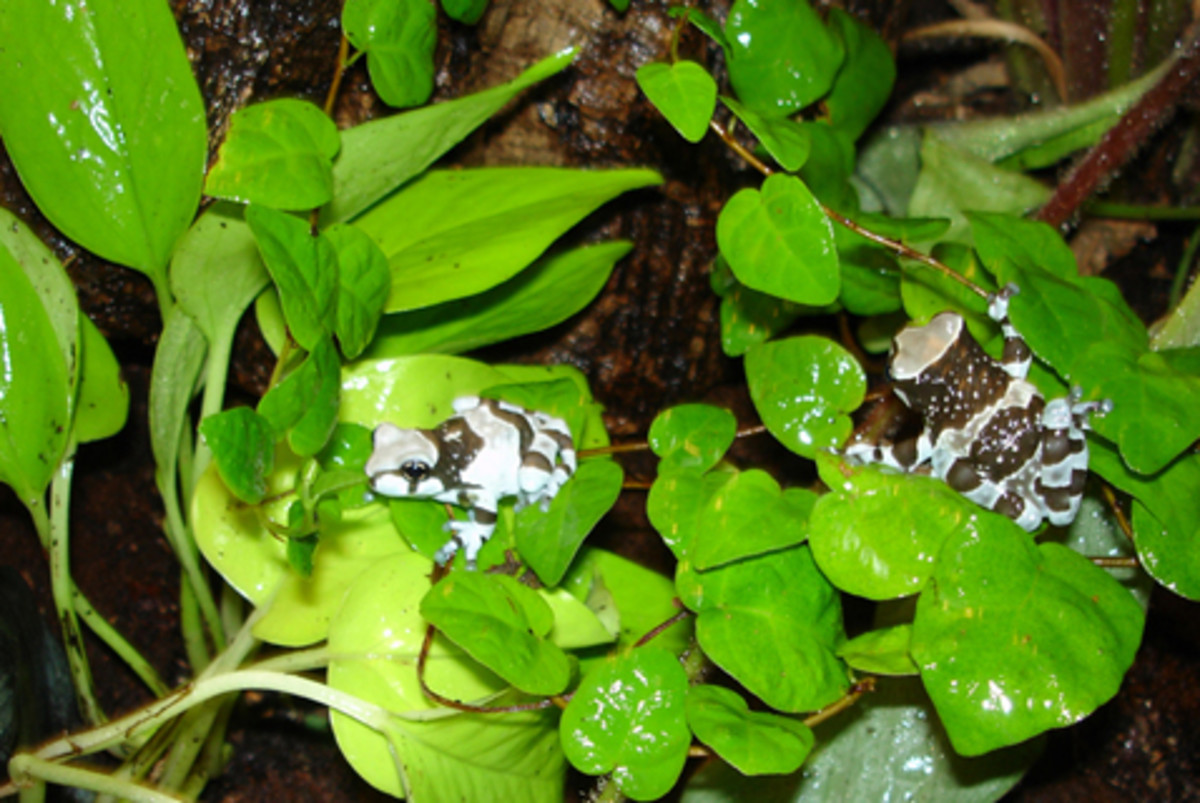 Amazon milk frogs lay their eggs in flooded tree holes