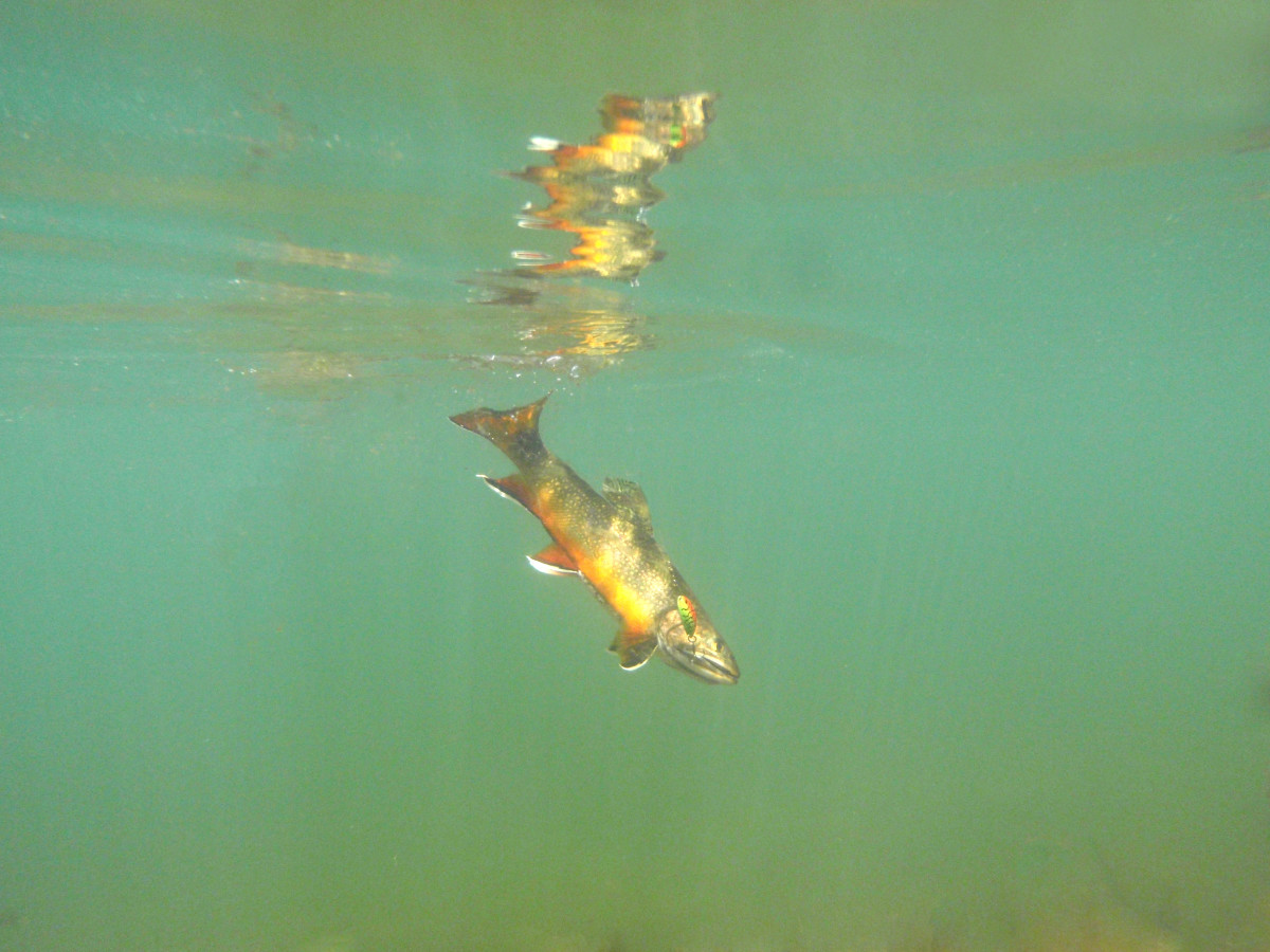 Brook trout and lure