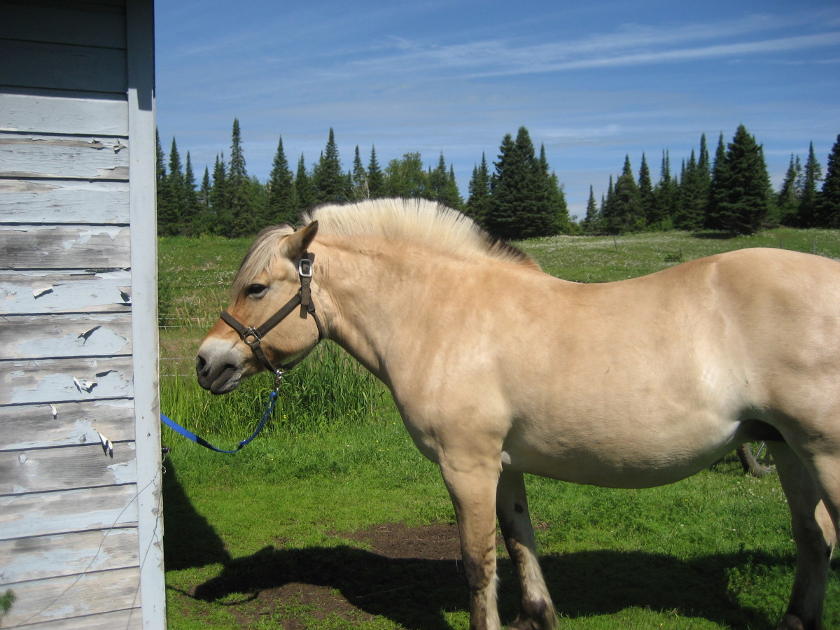 Fjord horse with its mane trimmed in the traditional manner, showing off the black and white striping.