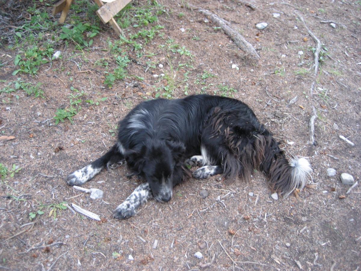 Bear dog 'Fester'.