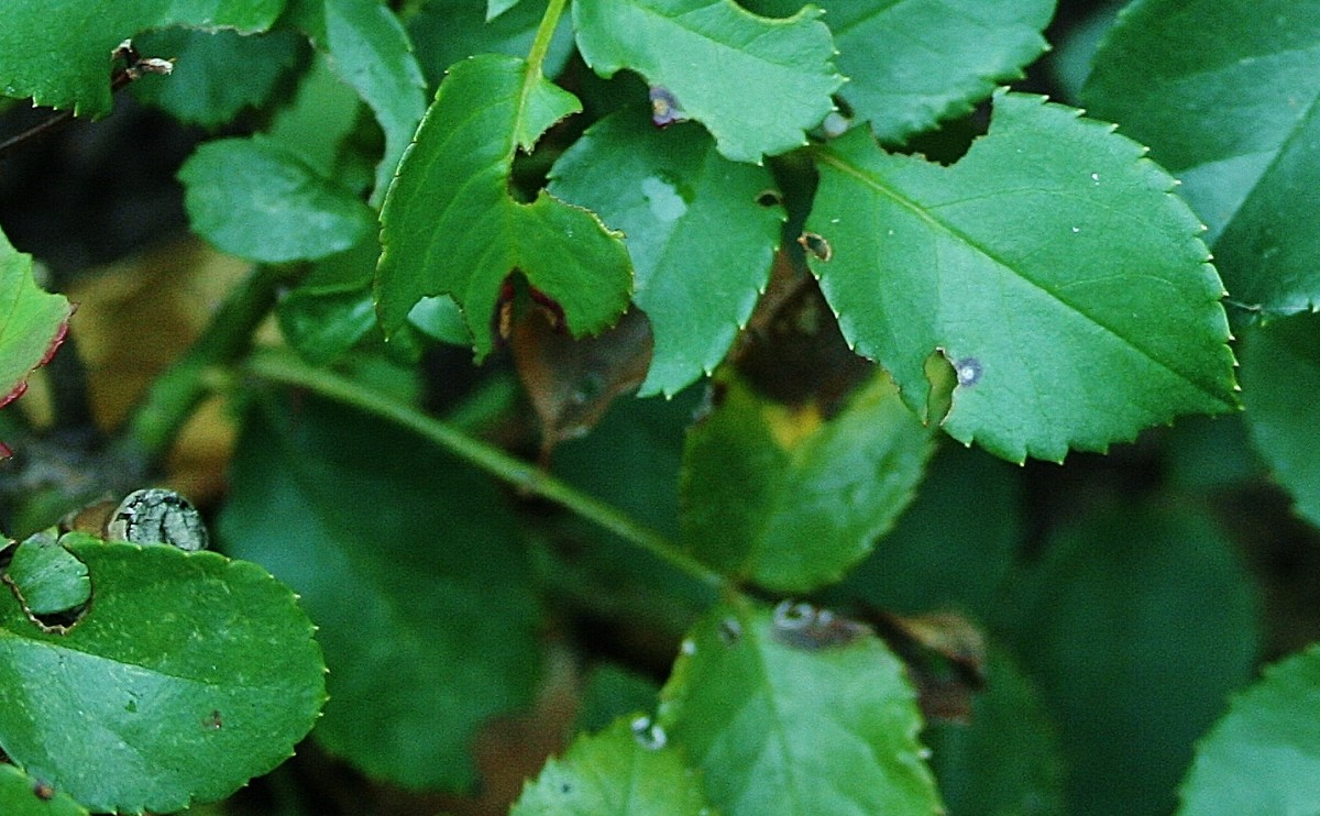 Black Spot on Roses – Prevention & Treatment