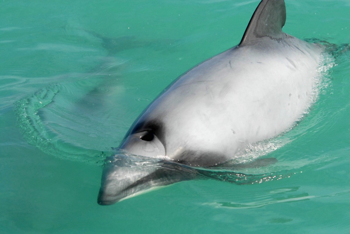 A close-up view of a Hector's dolphin