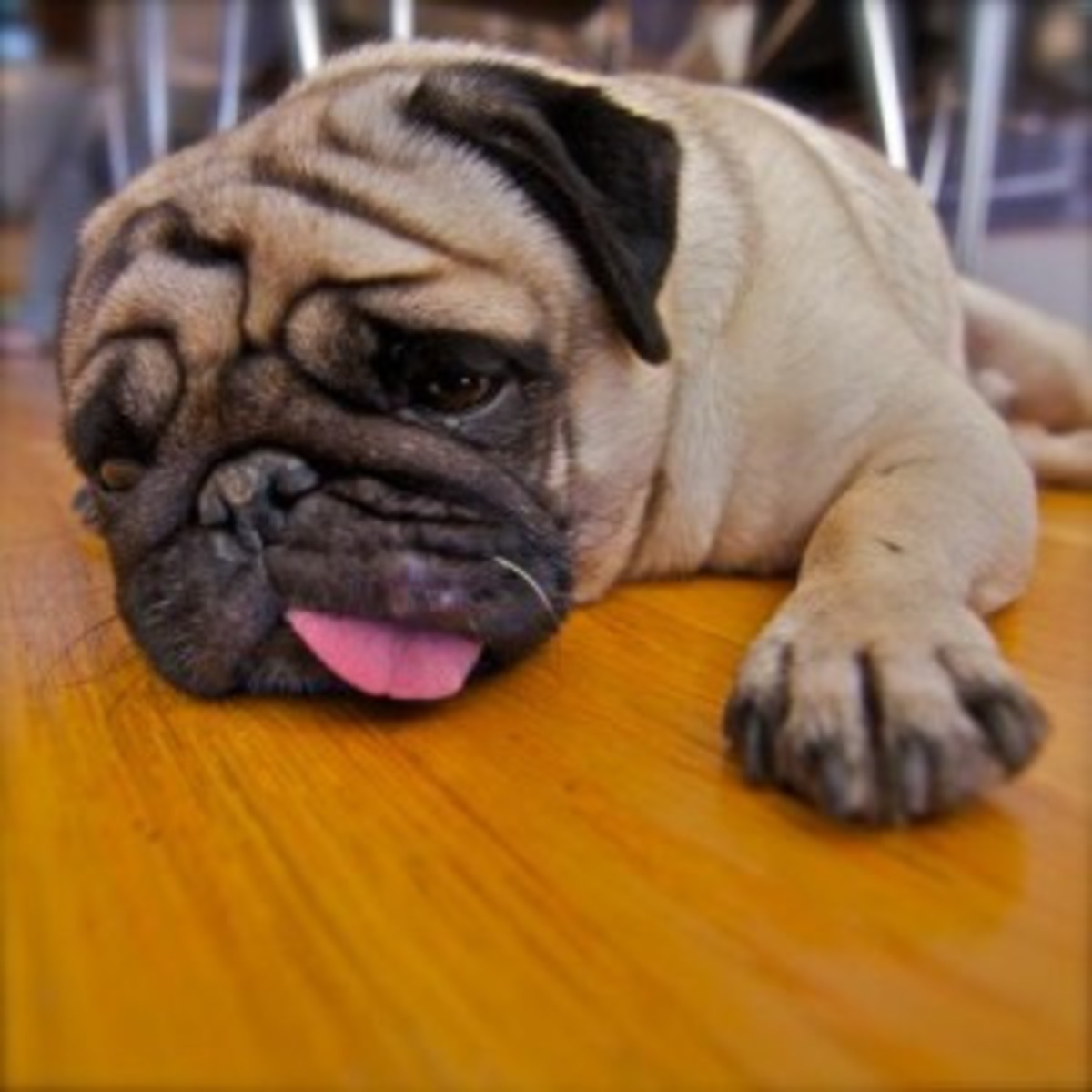 Obese dogs suffer and then die young.