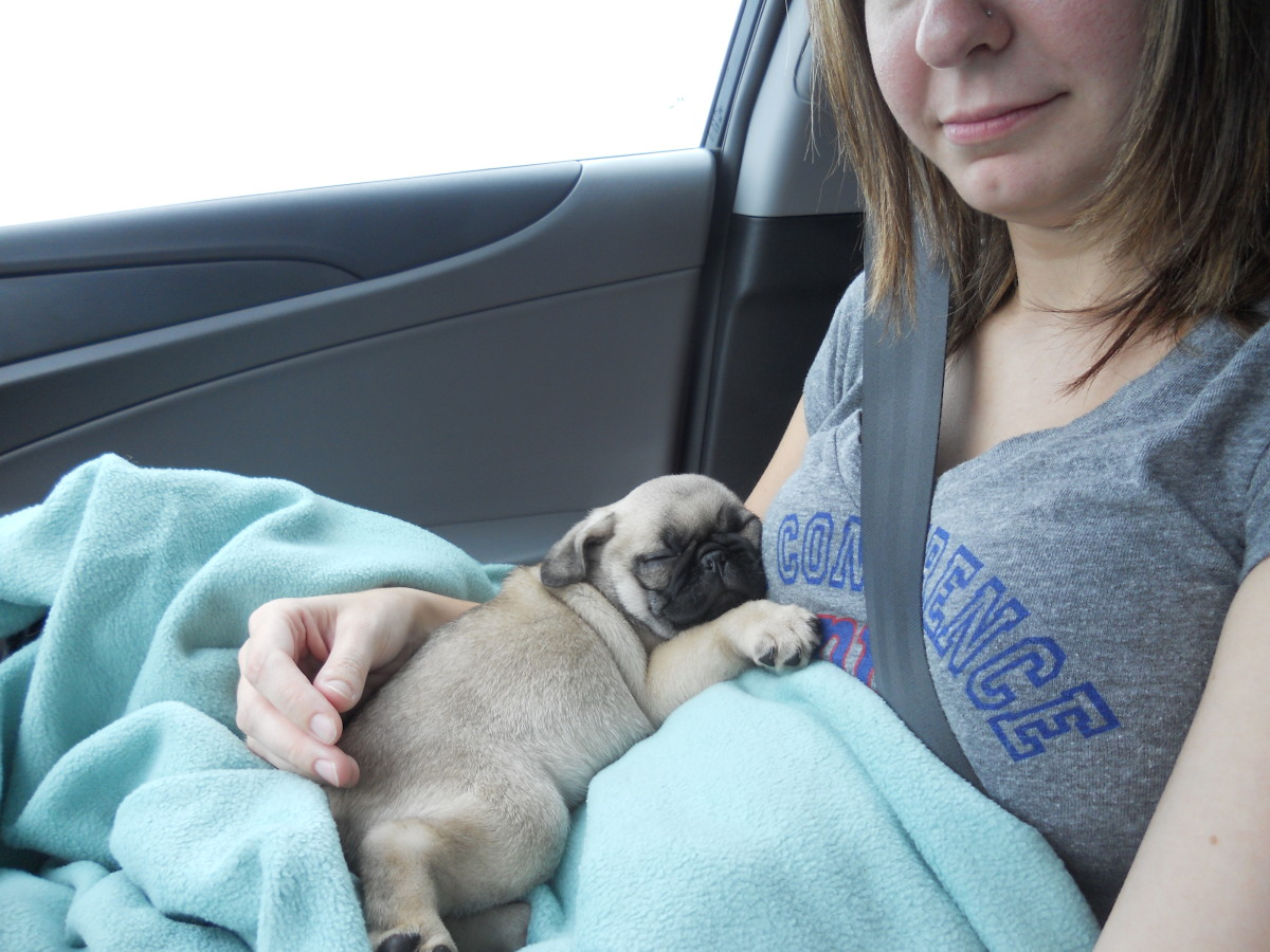 Bringing home the baby: an 8 week old pug!