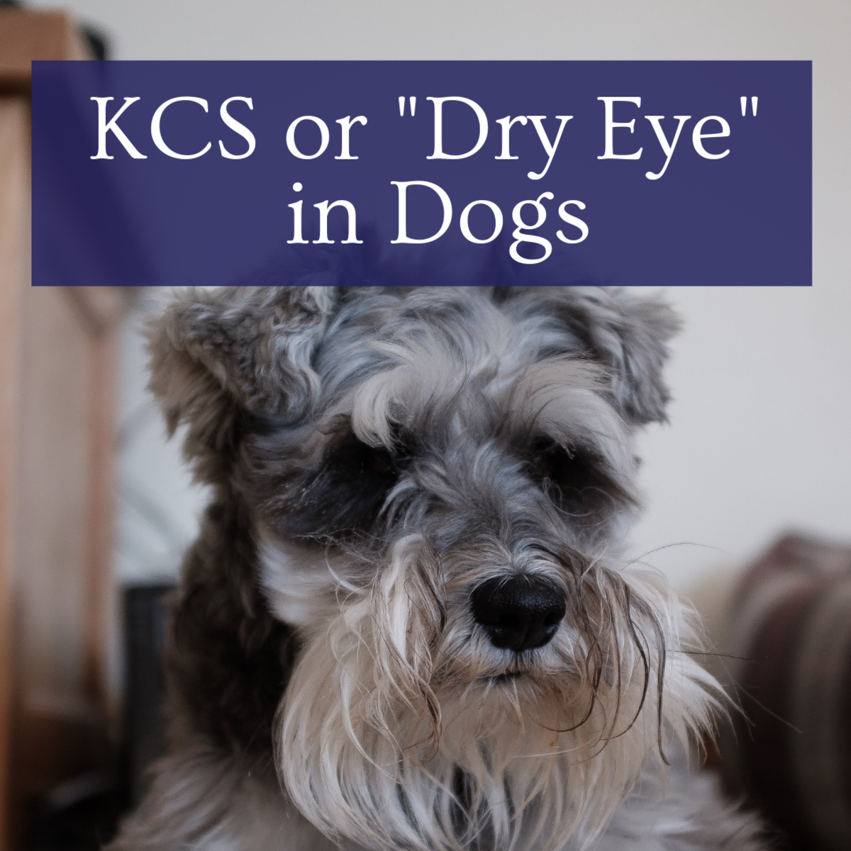 """Our Story: The Causes of KCS or """"Dry Eyes"""" in Dogs"""