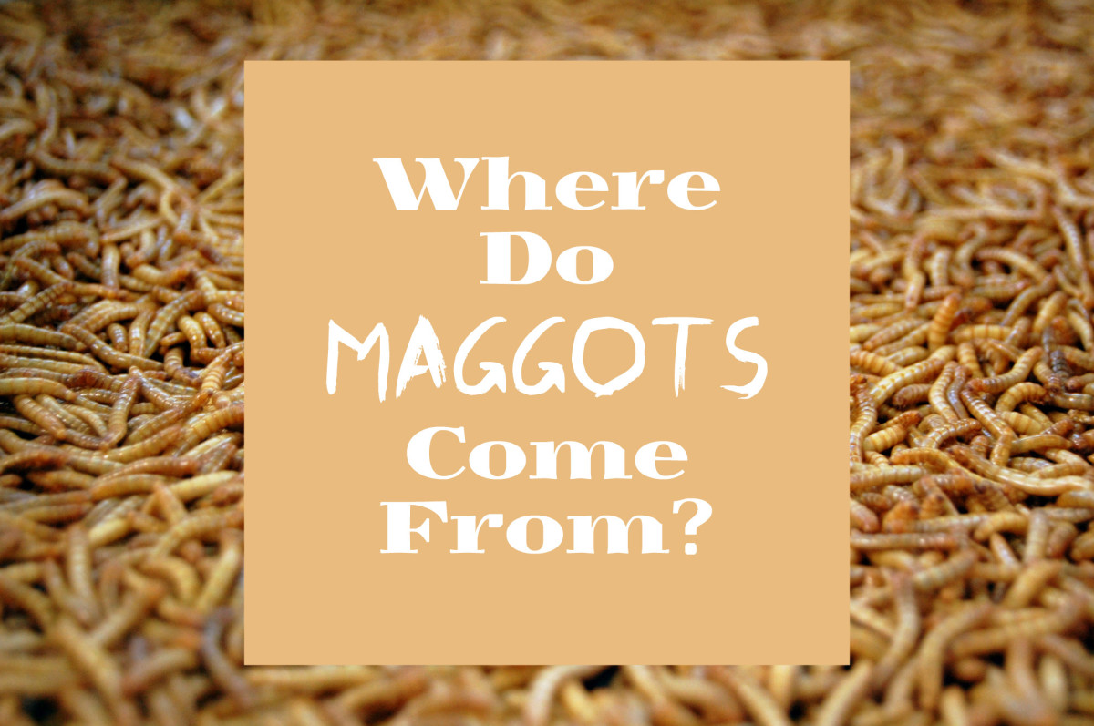 Maggot Facts: Where They Come From and Getting Rid of Them