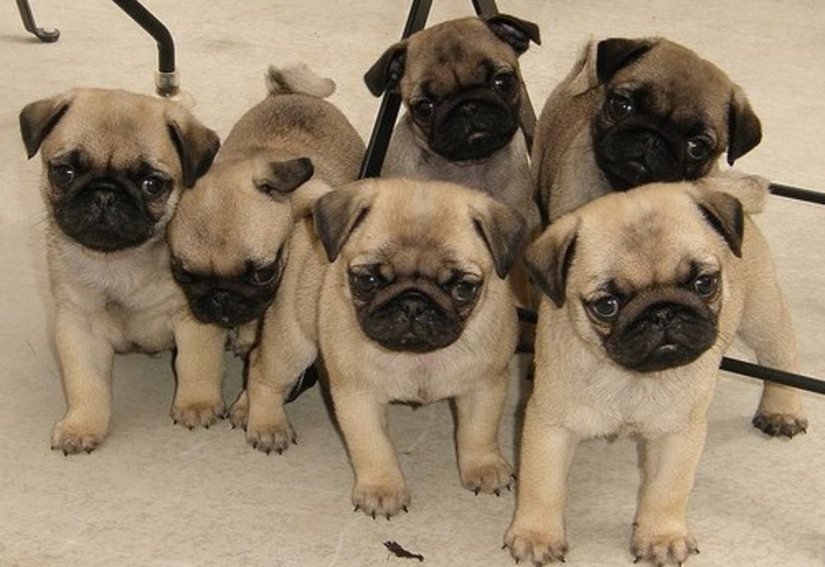 Selecting a Puppy: Male Pug Versus Female