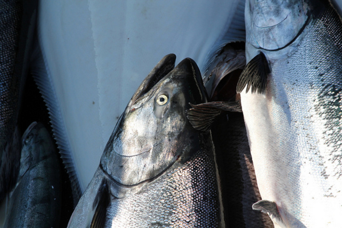 Some hefty King (Chinook) Salmon