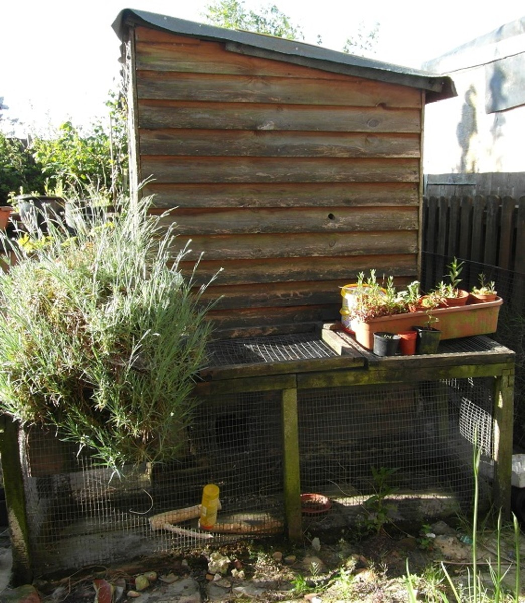 Outdoor housing for dwarf rabbits: A shed with rabbit run attached.