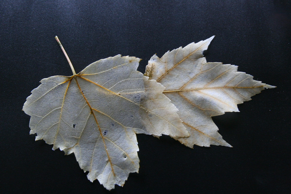 Skeleton leaves are used for scrapbooking projects, card making, and kid's leaf projects.