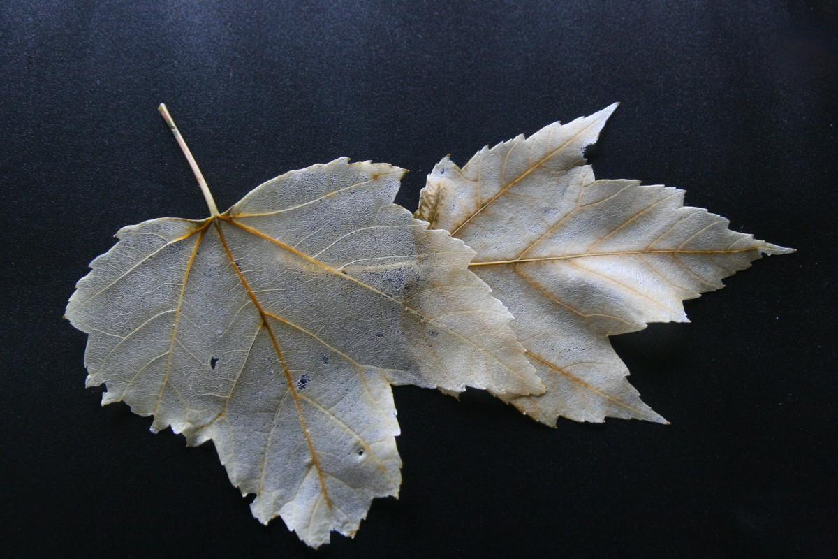 How to Make Skeleton Leaves