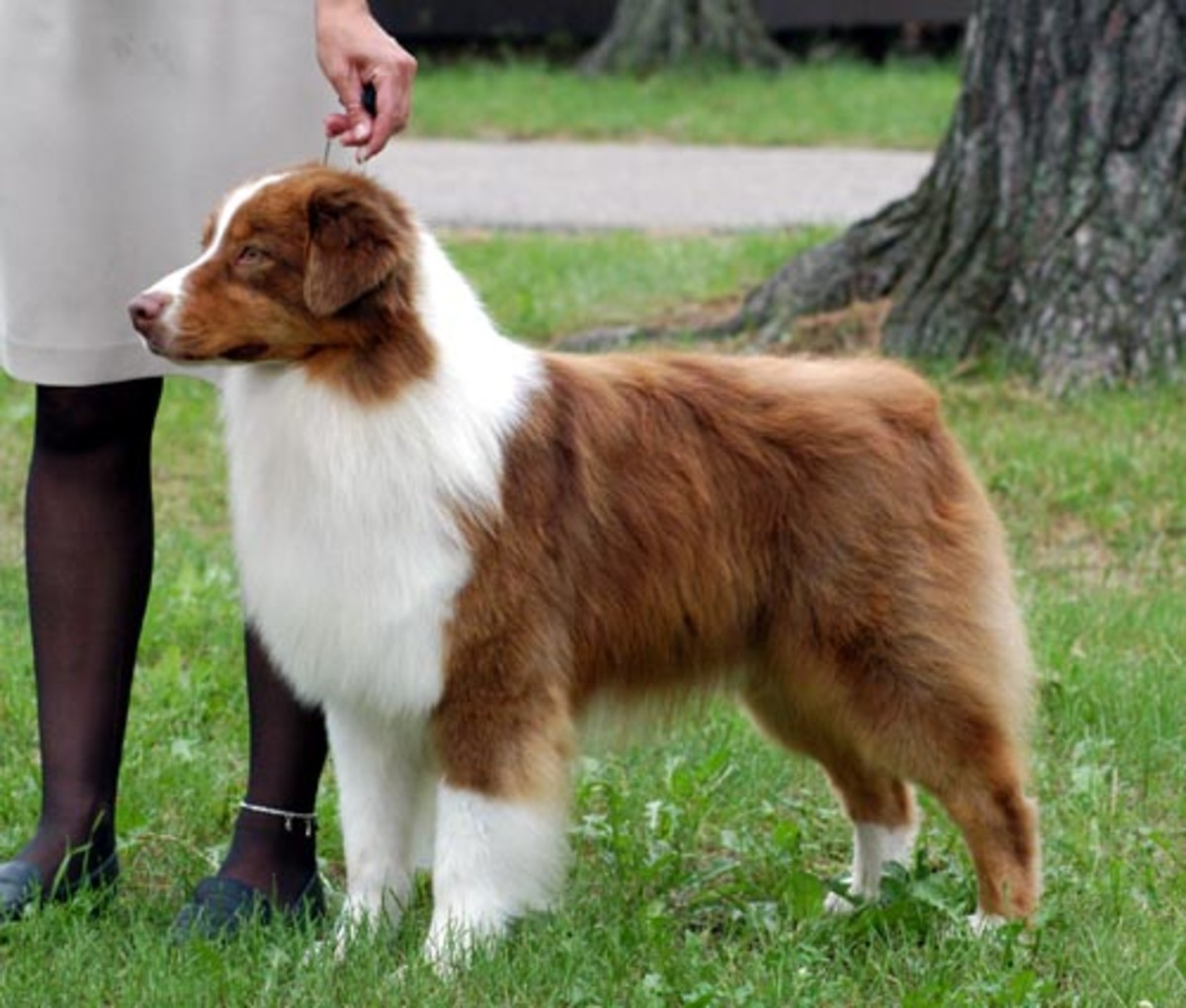 An adult Australian shepherd.