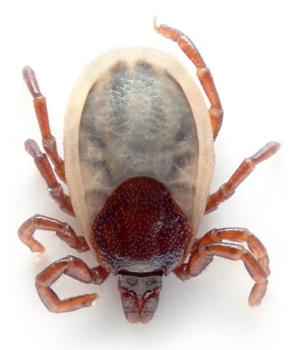 Ixodes ticks have hard shells.