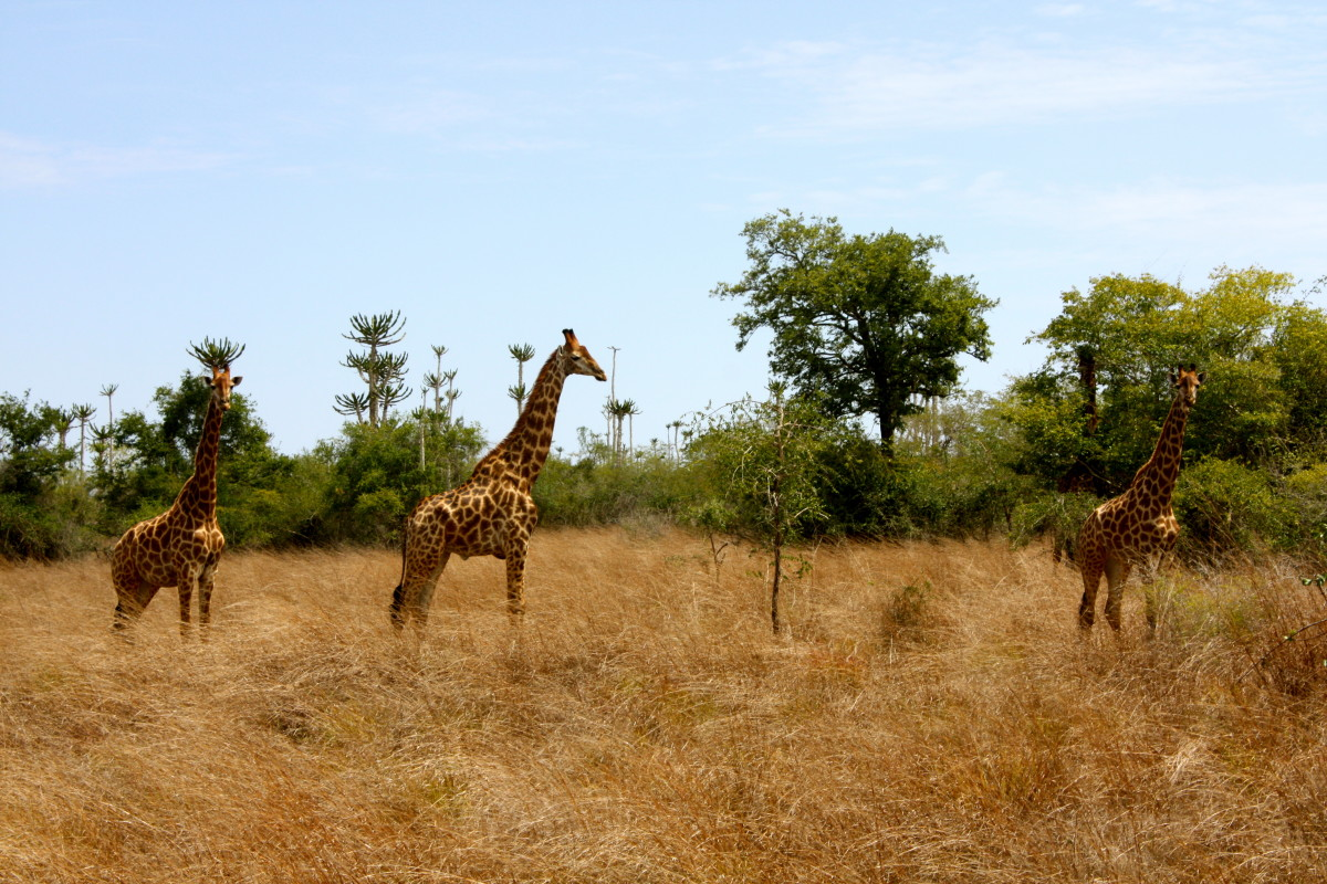 A family of giraffes photographed by the author at Kissama National Park