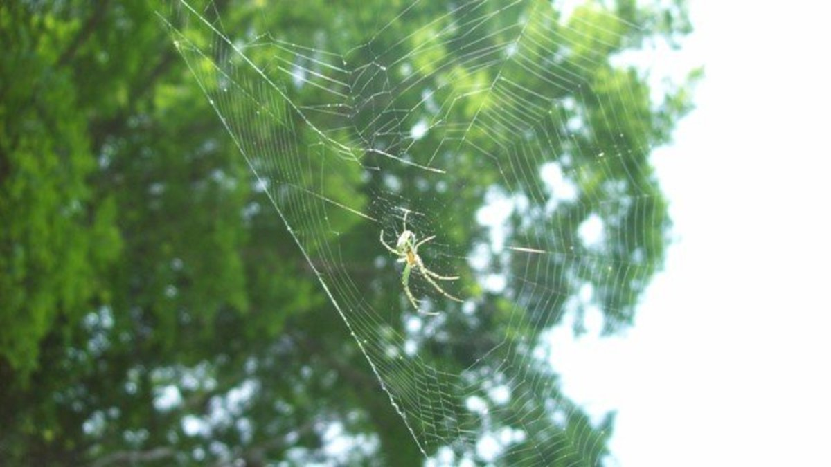 This spider in my garden really helps with garden pests.
