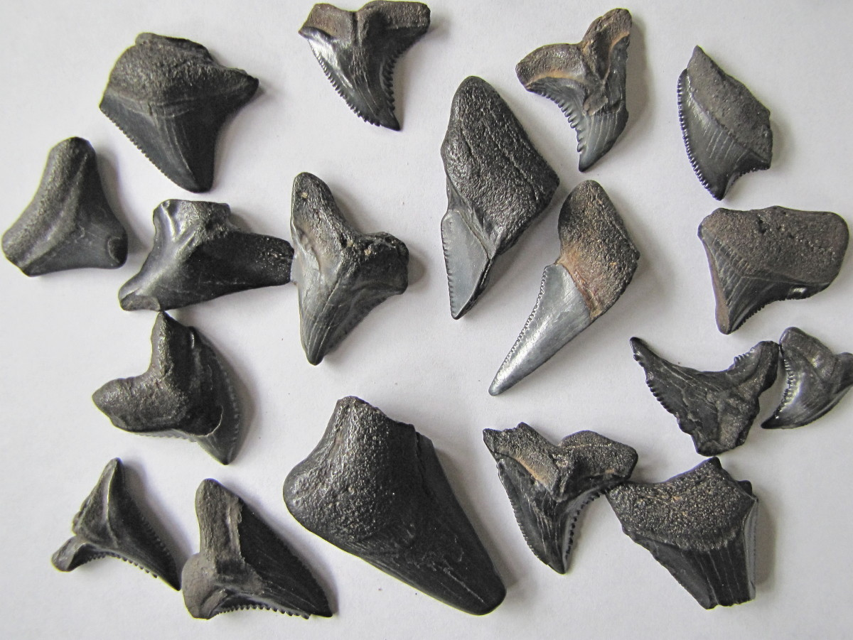 Fossilized shark teeth found in the Peace River.