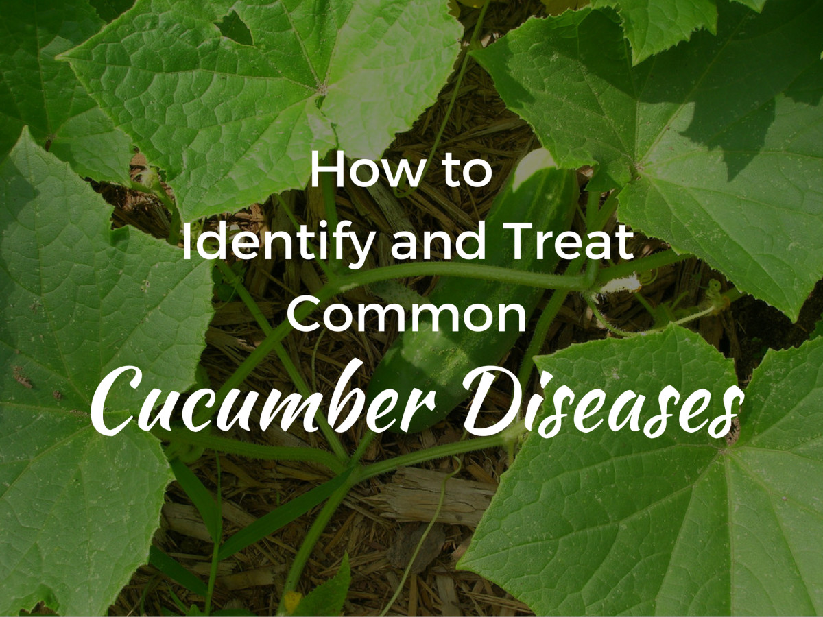 Get advice on how to identify, treat, and prevent common cucumber diseases.