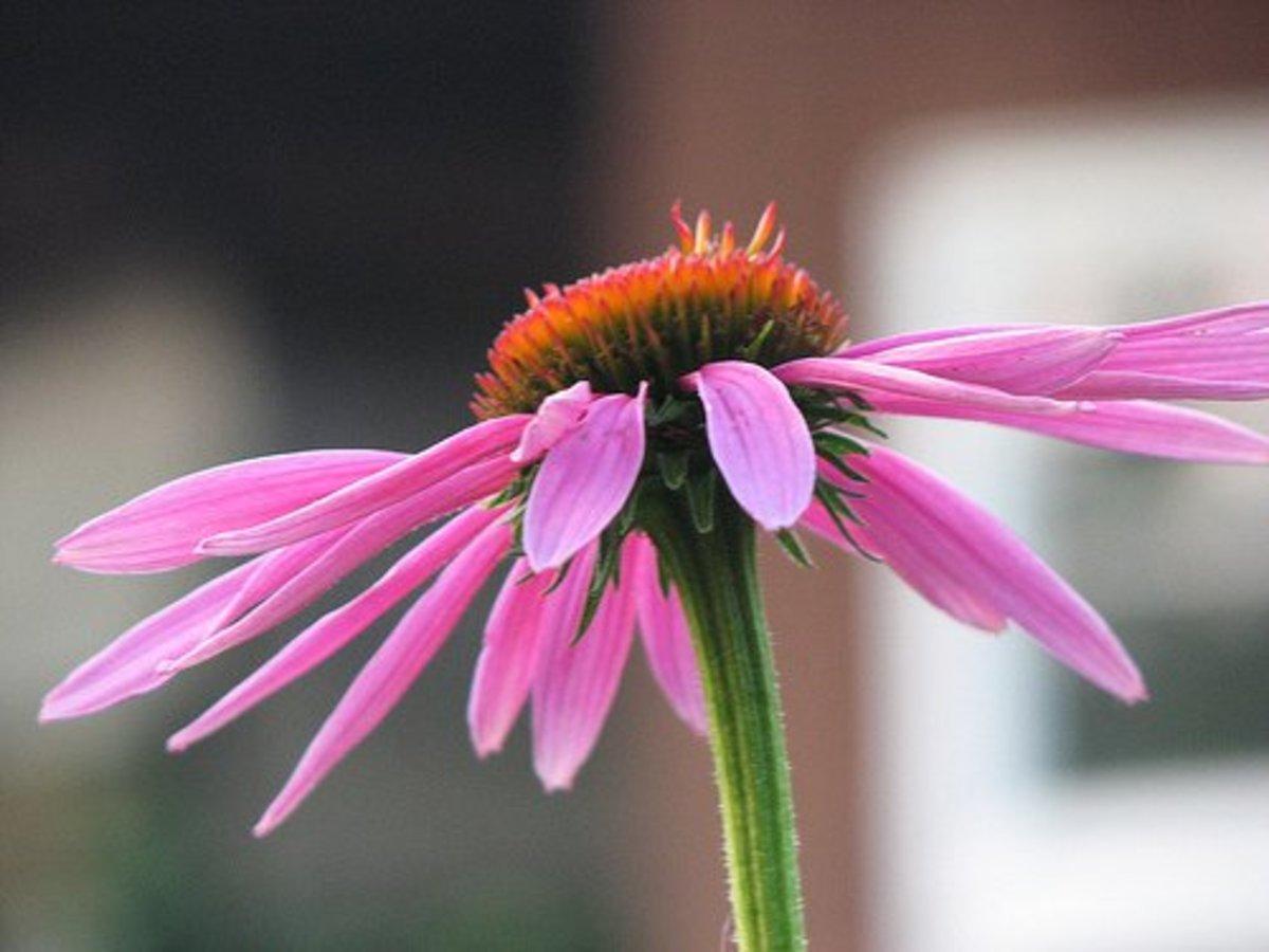 Purple Coneflower—Cuyahoga jco (Flickr.com)