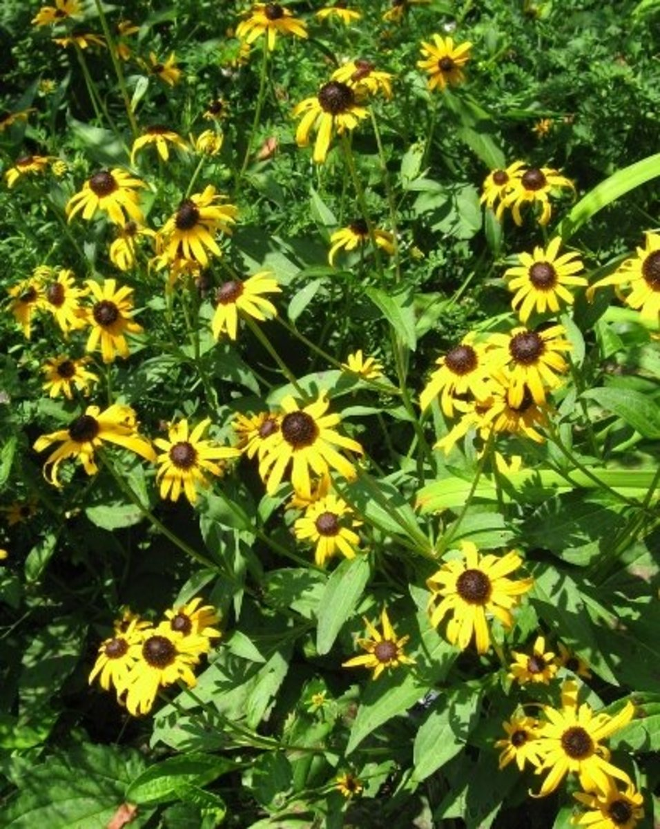 Black-eyed-Susan from my garden, a self feeding biennial.