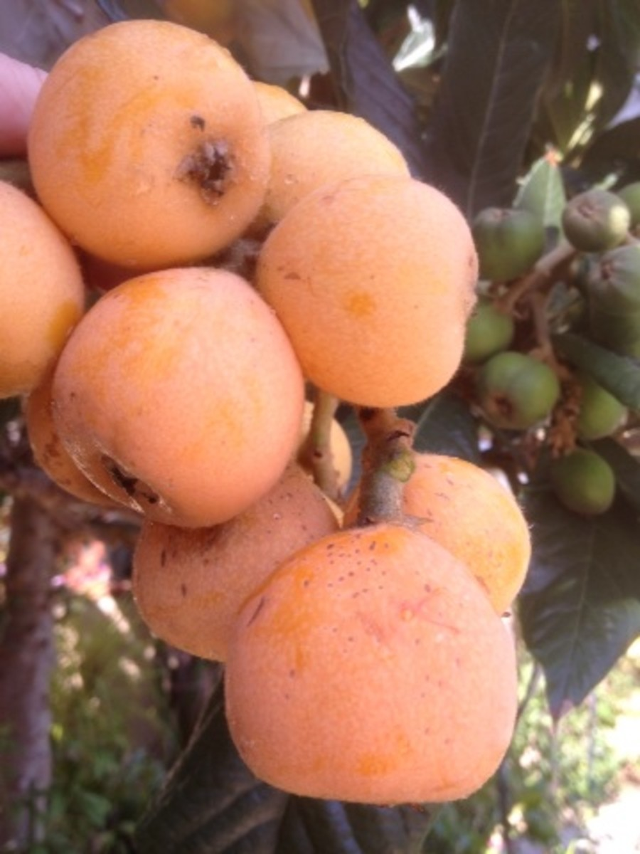 Beautiful, ripe loquat fruits.