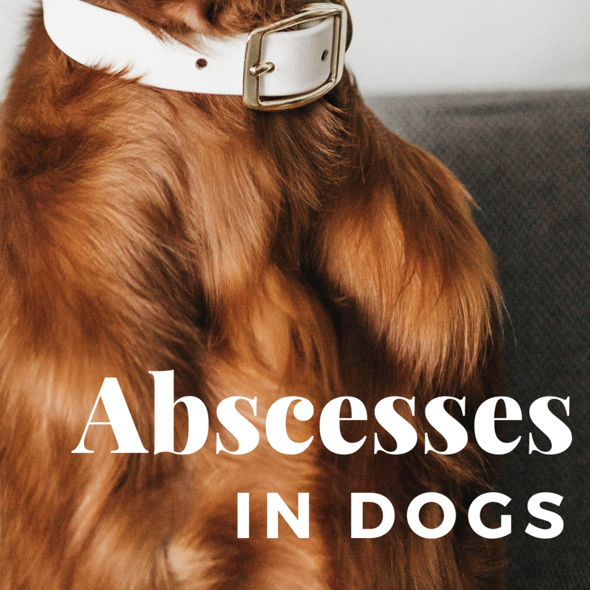 Abscesses in Dogs: Symptoms and Treatment