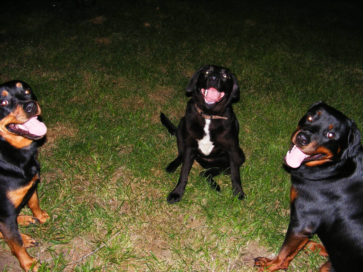 Dog Training: How to Use Differential Reinforcement of Incompatible Behaviors