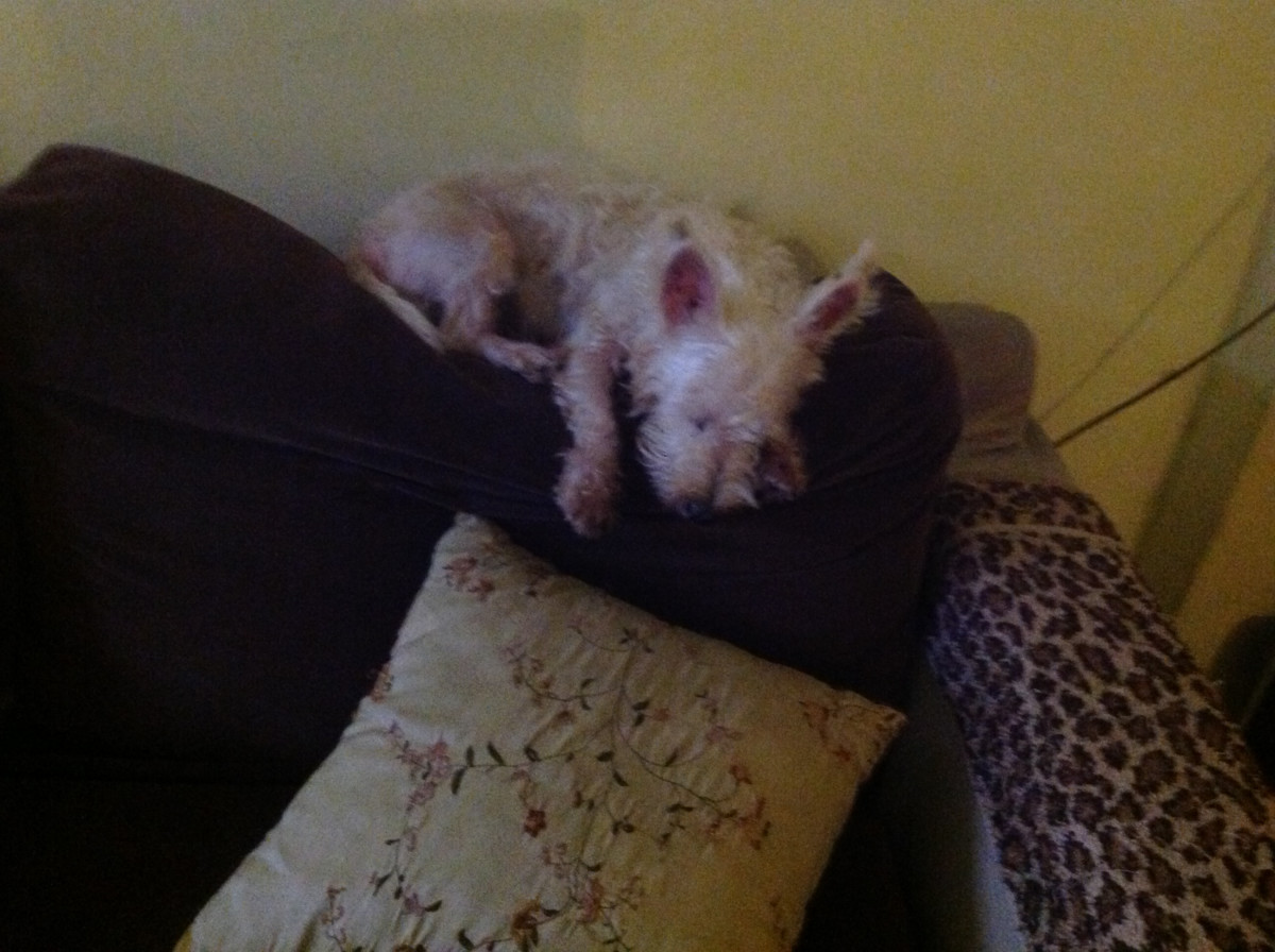 My Westie, Cloudy, relaxing on the couch.