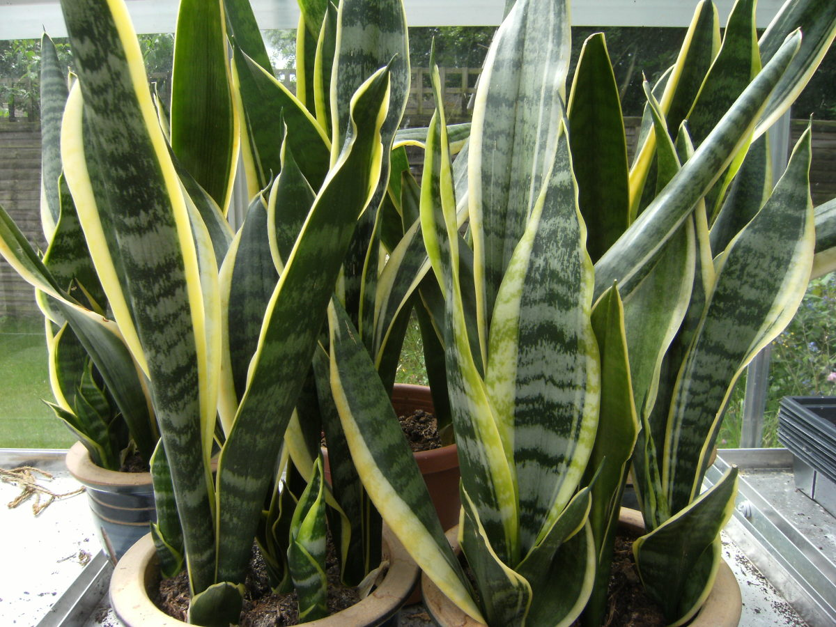 Mother-in-Law's Tongue: How to Care for and Repot This Plant