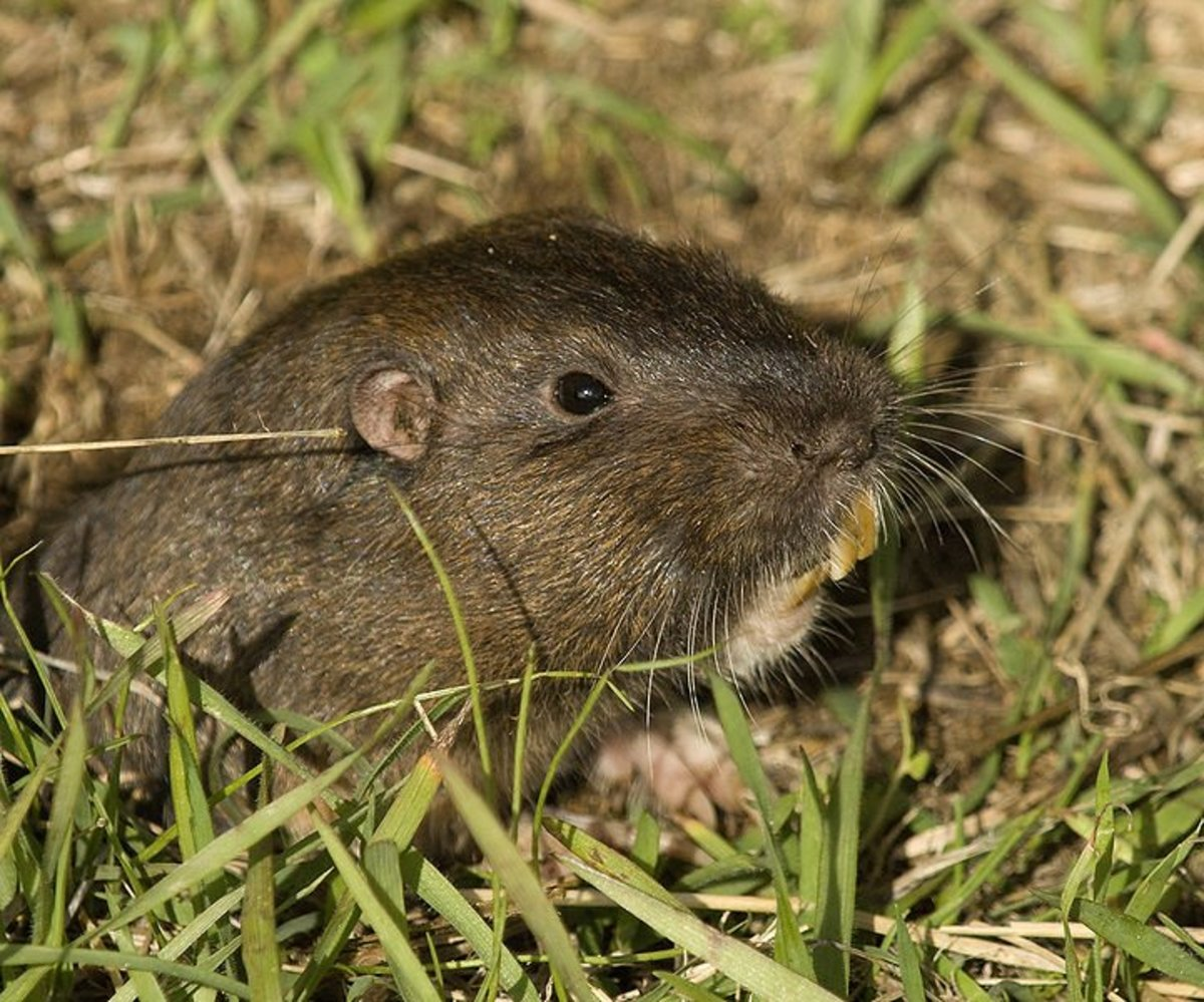 How to Control Gophers: What do Gopher Holes look like