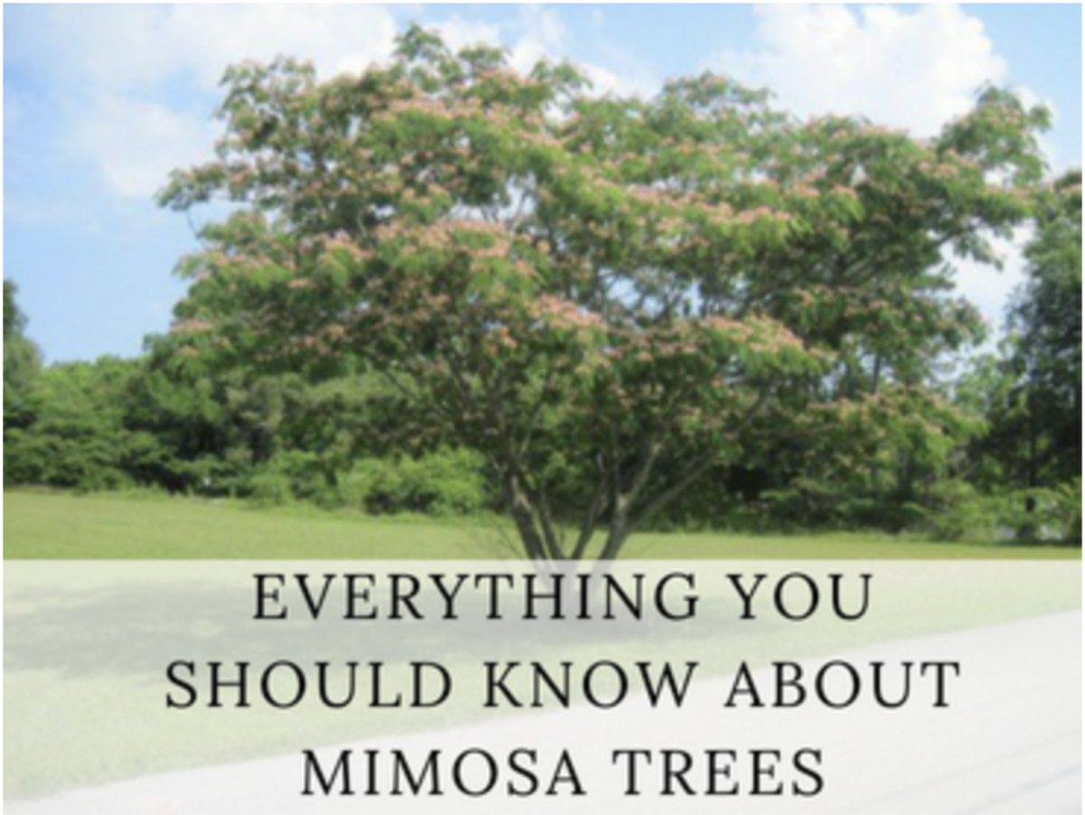 Mimosa Trees Exotic Aromatic And