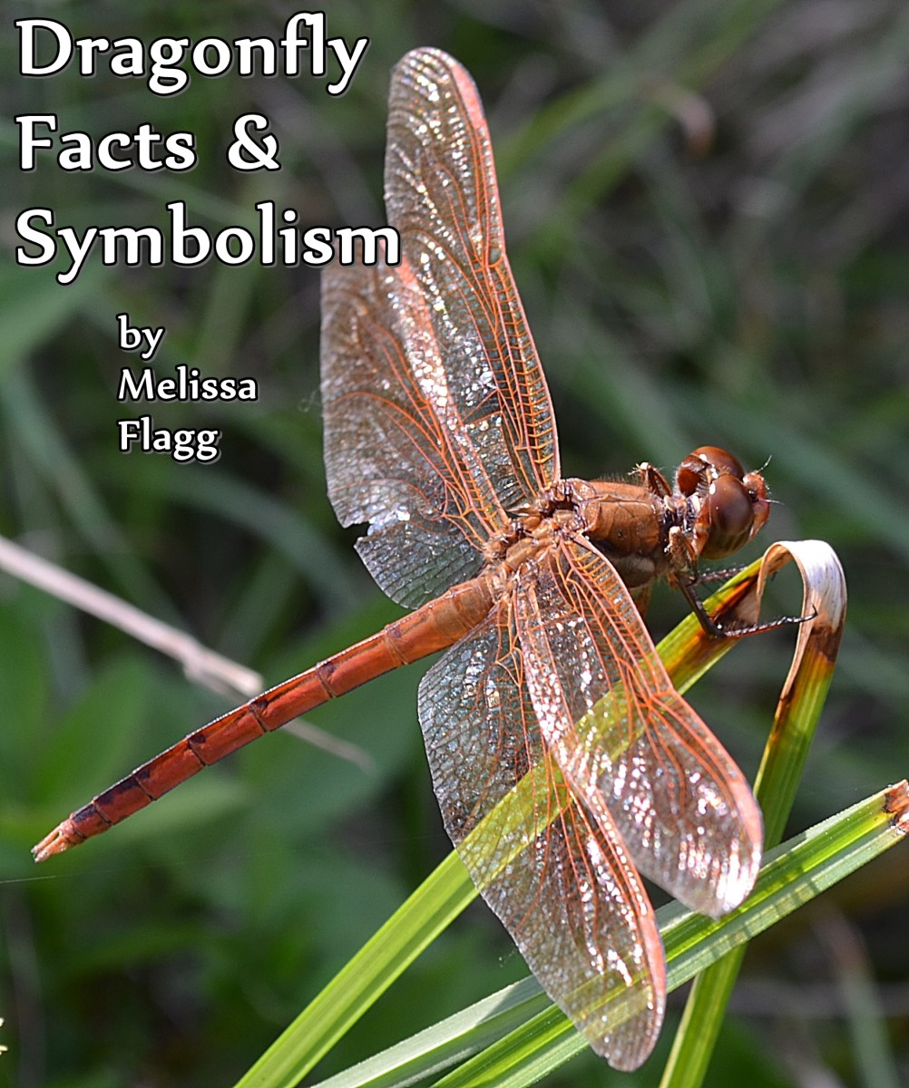 6e637fc20913 Dragonfly Facts and Symbolism | Owlcation