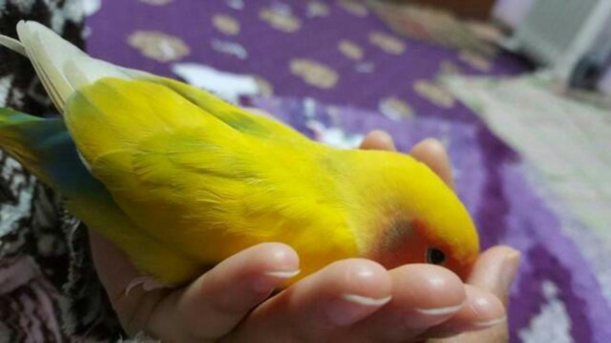 This is my male lovebird, Mumu. He lost his mate, Lulu, and grieved her death. I tried to support him and eventually brought home a new mate for him.
