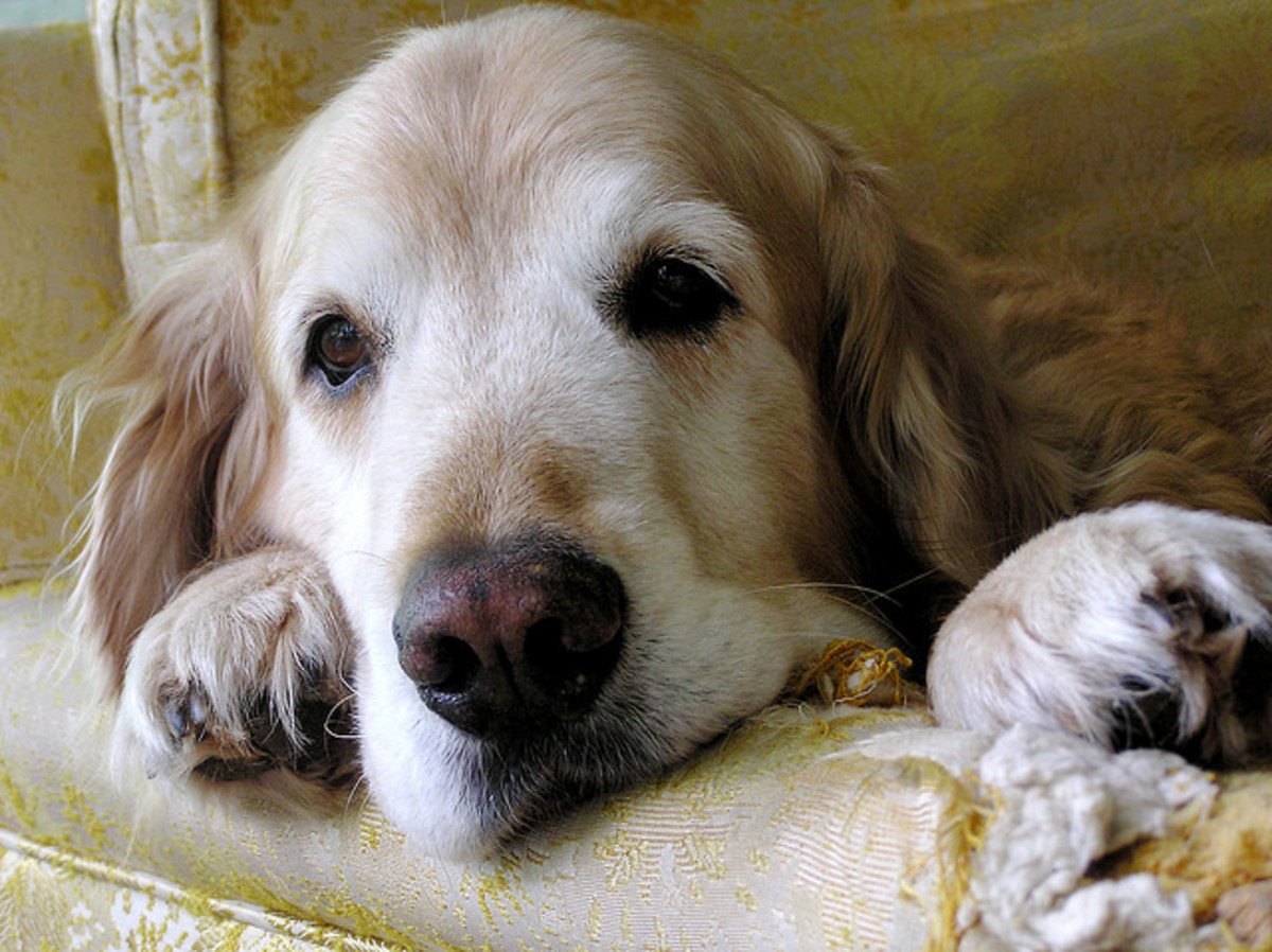 As arthritis develops, dogs are reluctant to move around.