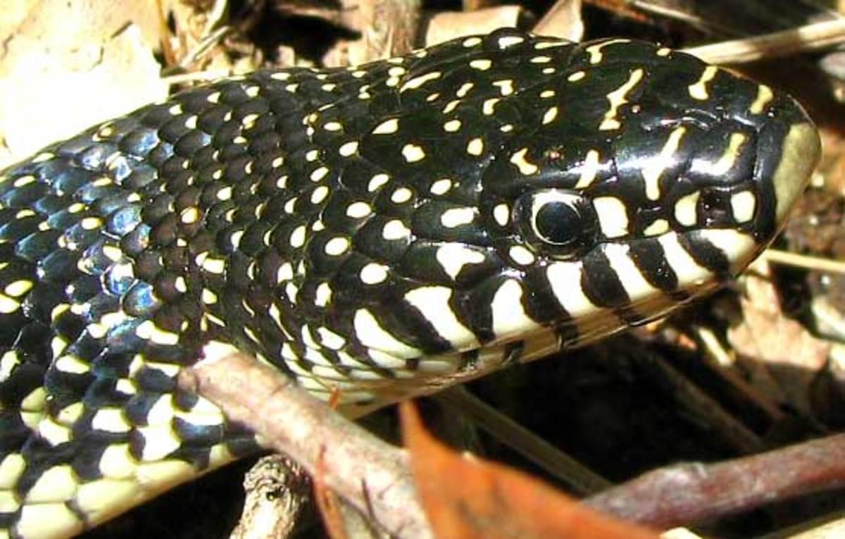 Speckled kingnsake. Photo by Jim Conrad. Public Domain.