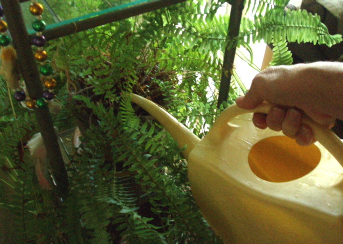 Watering with a long-nosed watering can helps to target placement, so you don't spill.