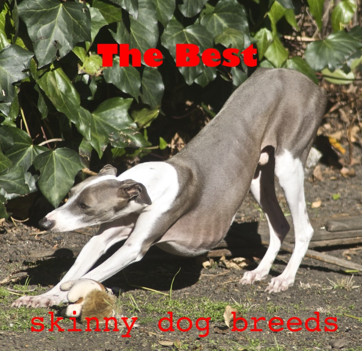 The best skinny dog breeds.