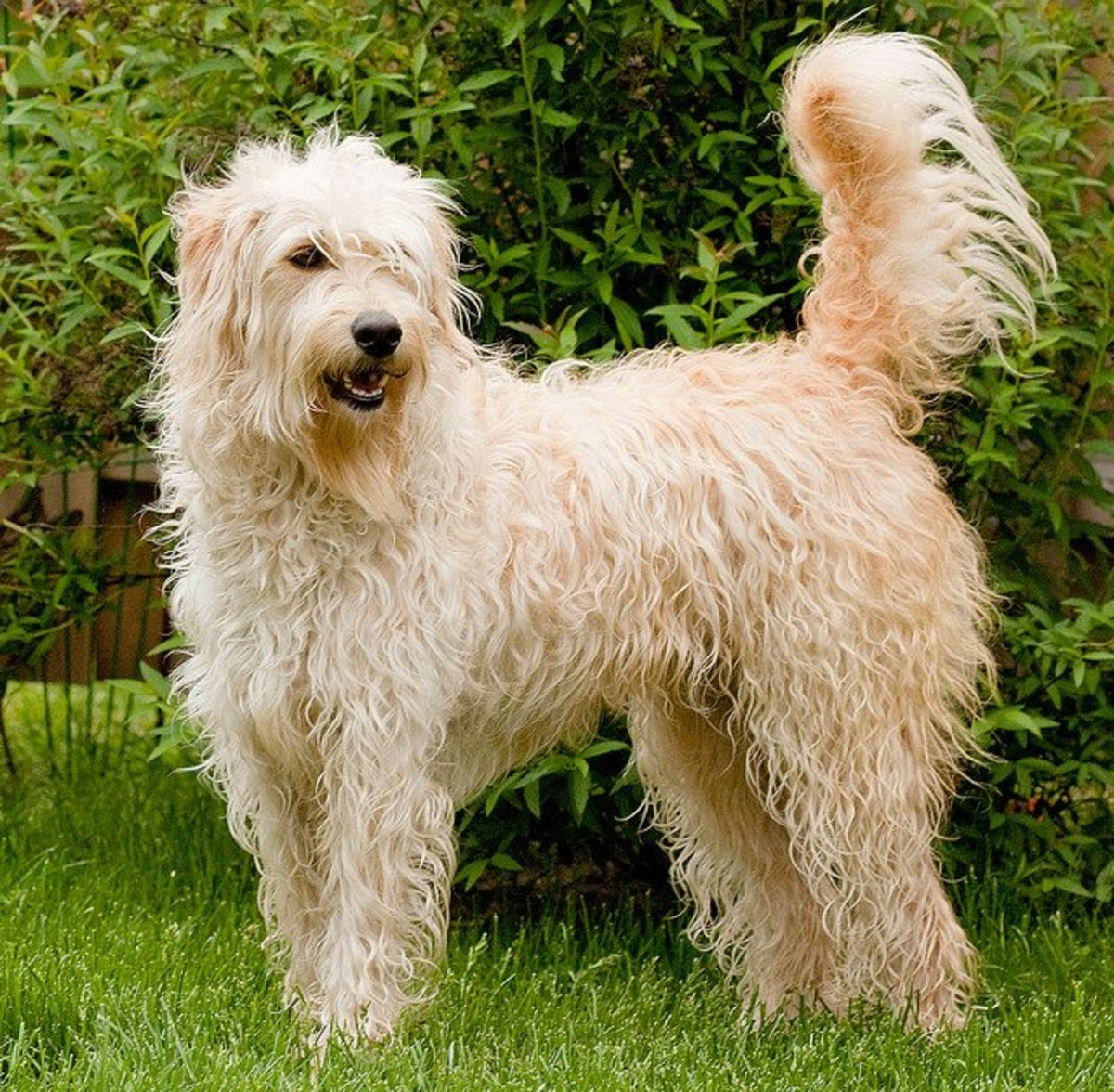 A labradoodle, designed to not shed much.