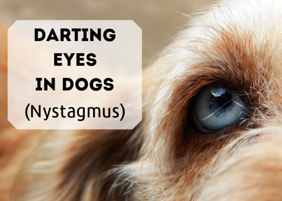 Learn about the causes of darting eyes in dogs (known as nystagmus).