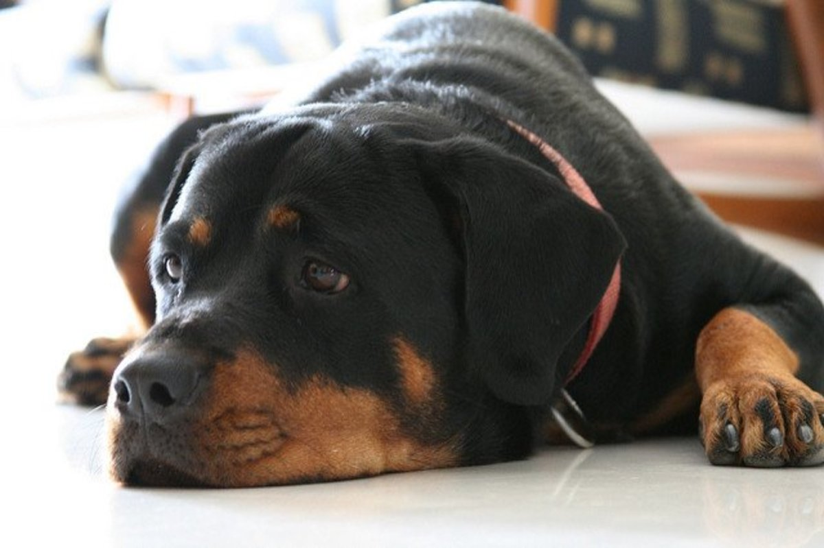 The Rottie is the family watch dog that does not sleep.