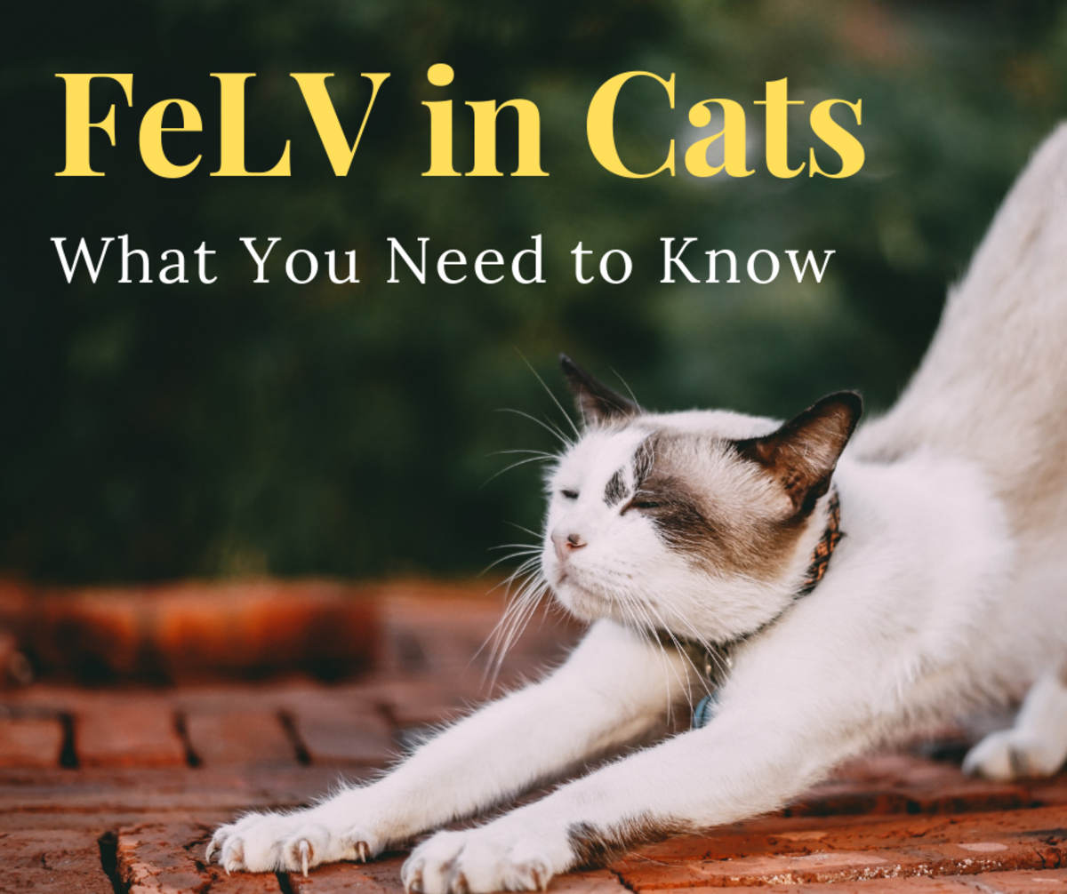 This article contains all you need to know about the Feline Leukemia Virus (FeLV).