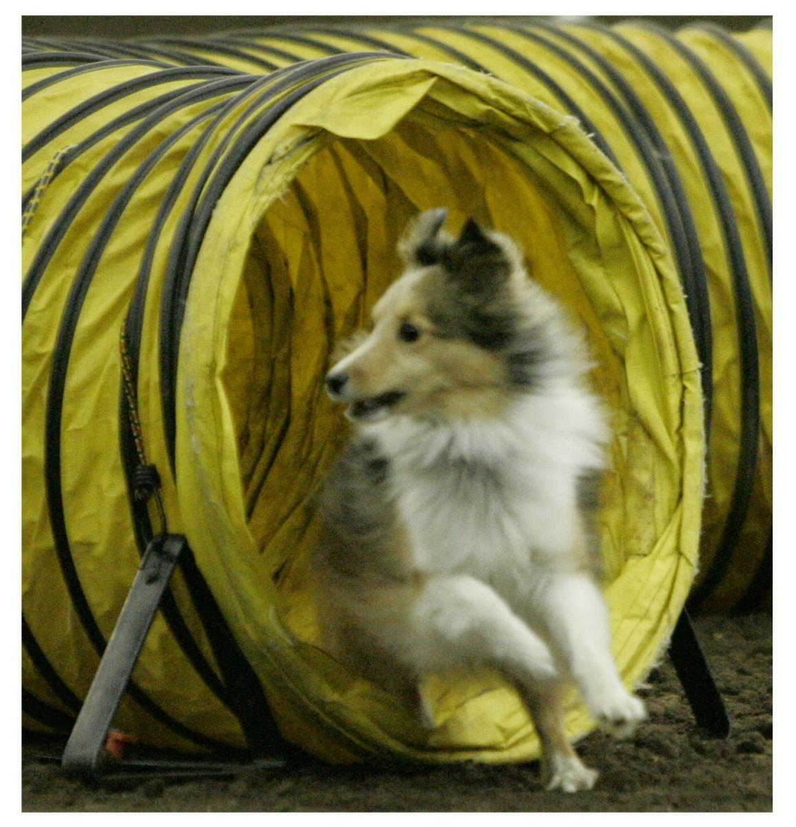 AKC Agility Titles: What Do the Letters Following a Dog's Name Mean?