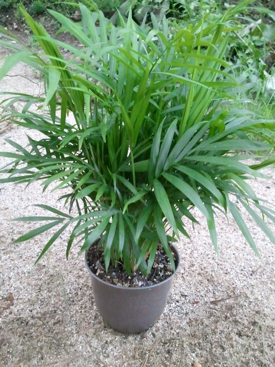 Parlour palm (chamaedorea elegans) is relatively small and can easily be grown and cared for indoors, thus making it the ideal houseplant.