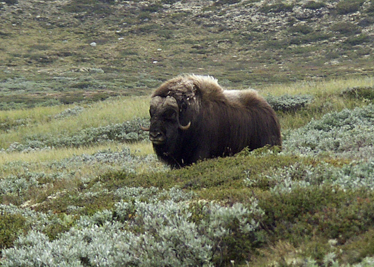 When modern humans first entered Europe this is the sort of environment that greeted them. The musk-ox is one of the few surviving examples of European megafauna.