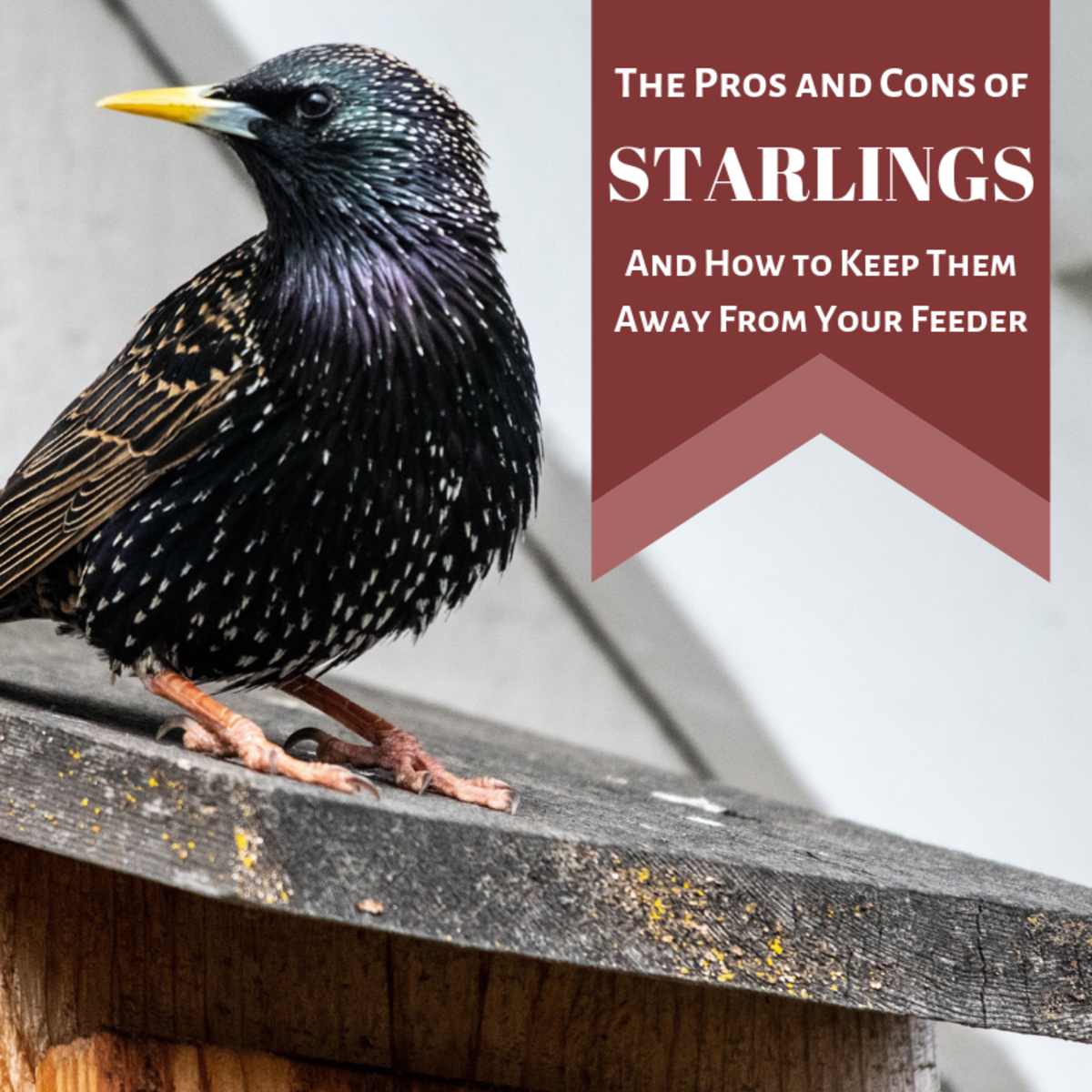 Starlings are a uniquely intelligent invasive species that backyard birders love to hate.