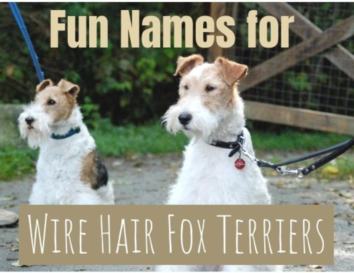 Great Names for Wire Hair Fox Terrier Dogs
