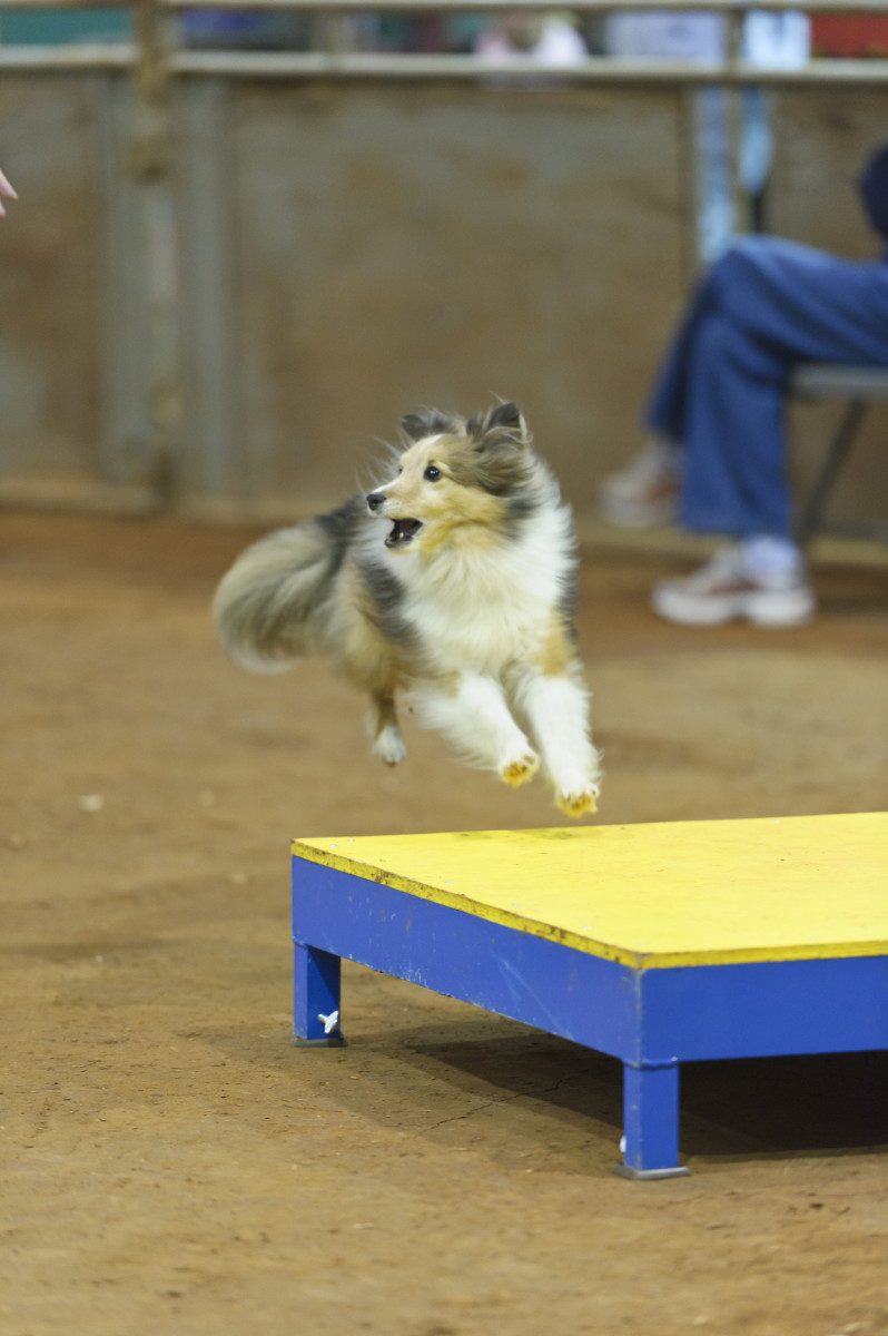 Deciphering the AKC's Lifetime Achievement Titles in Agility: The Metallics